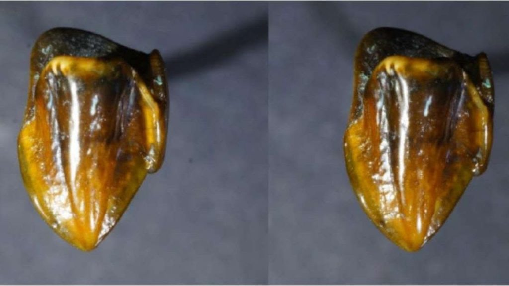 9.7 Million Year old teeth fossils found in Germany